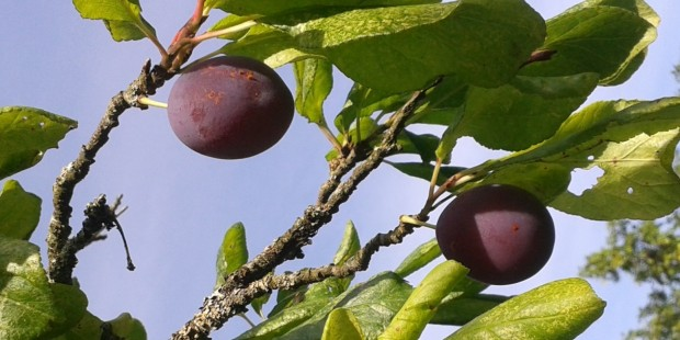 Blaisdon Red Plum