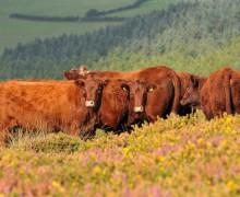 Devon Red Ruby Cattle