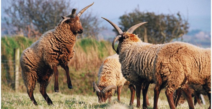 Producers – Sheep breeds and products