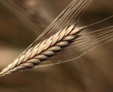 Einkorn Grain & Flour