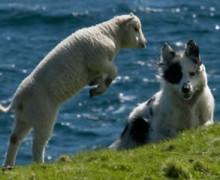Briggs' Shetland Lamb