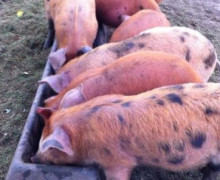Peta and Anthony Lloyd - Fallowfields - Ark of Taste Pig Breeds