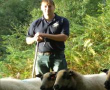 Robin Jones - Hebsnbadgers - Badger Face Welsh Mountain Sheep