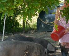 Sheila Crighton - Seven Fields Farm - Large Black Pig