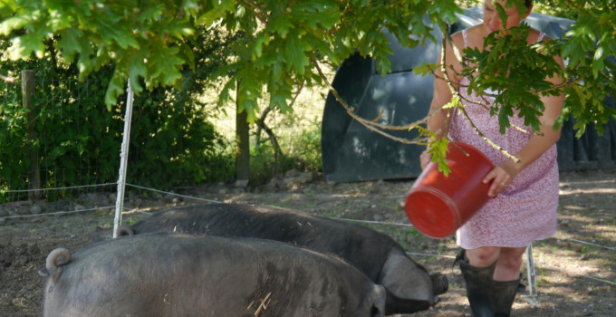 Sheila Crighton – Seven Fields Farm – Large Black Pig