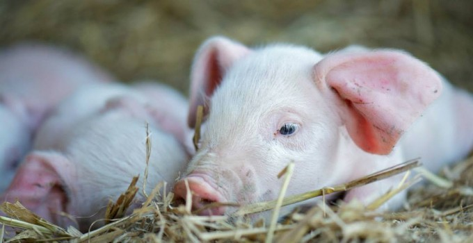Producers – Pig breeds and products