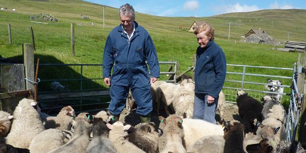 Richard Briggs – Briggs Shetland Lamb – Native Shetland Lamb