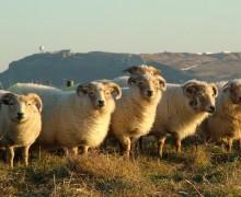 Tess Evans and Steve Gould - Steeptonbill Farm - Portland Sheep