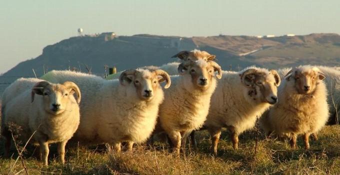 Tess Evans and Steve Gould – Steeptonbill Farm – Portland Sheep