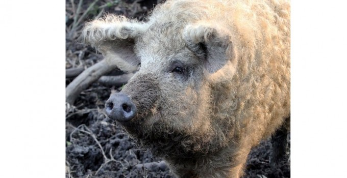 Interview with Charcutier Ltd, Slow Food supporter and producer of Pedigree Welsh Pigs