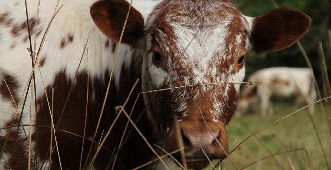 Producers – Cattle breeds and products