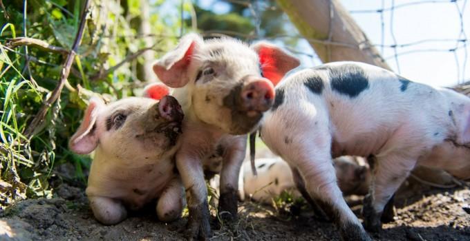 SALLY LUGG- PRIMROSE HERD- GLOUCESTER OLD SPOT PIG