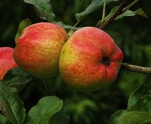 Bardsey Island Apple