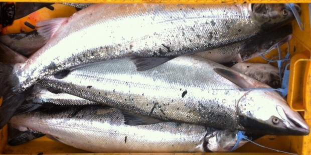 River Tweed Wild Salmon
