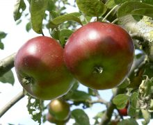 Devonshire Quarrenden apple
