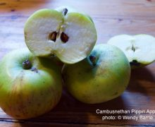 Cambusnethan Pippin apple