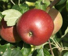 Herefordshire Beefing apple