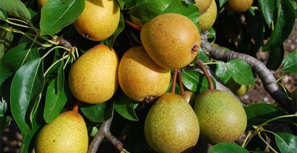 Hessle Pear