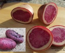 Highland Burgundy Red Potato
