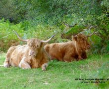 Hill Bred Pedigree Highland Cattle