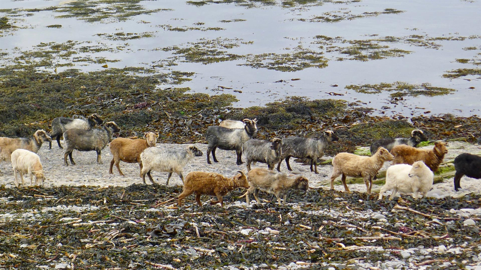The North Ronaldsay Sheep is the first Slow Food Presidium in Scotland