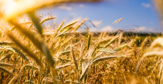 Food of the Future: Cereals