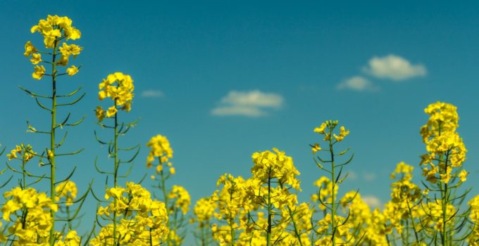 Food of the Future: Oilseed
