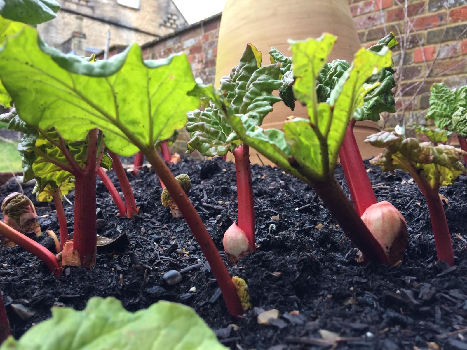 Slow Garden Chronicle: Rhubarb