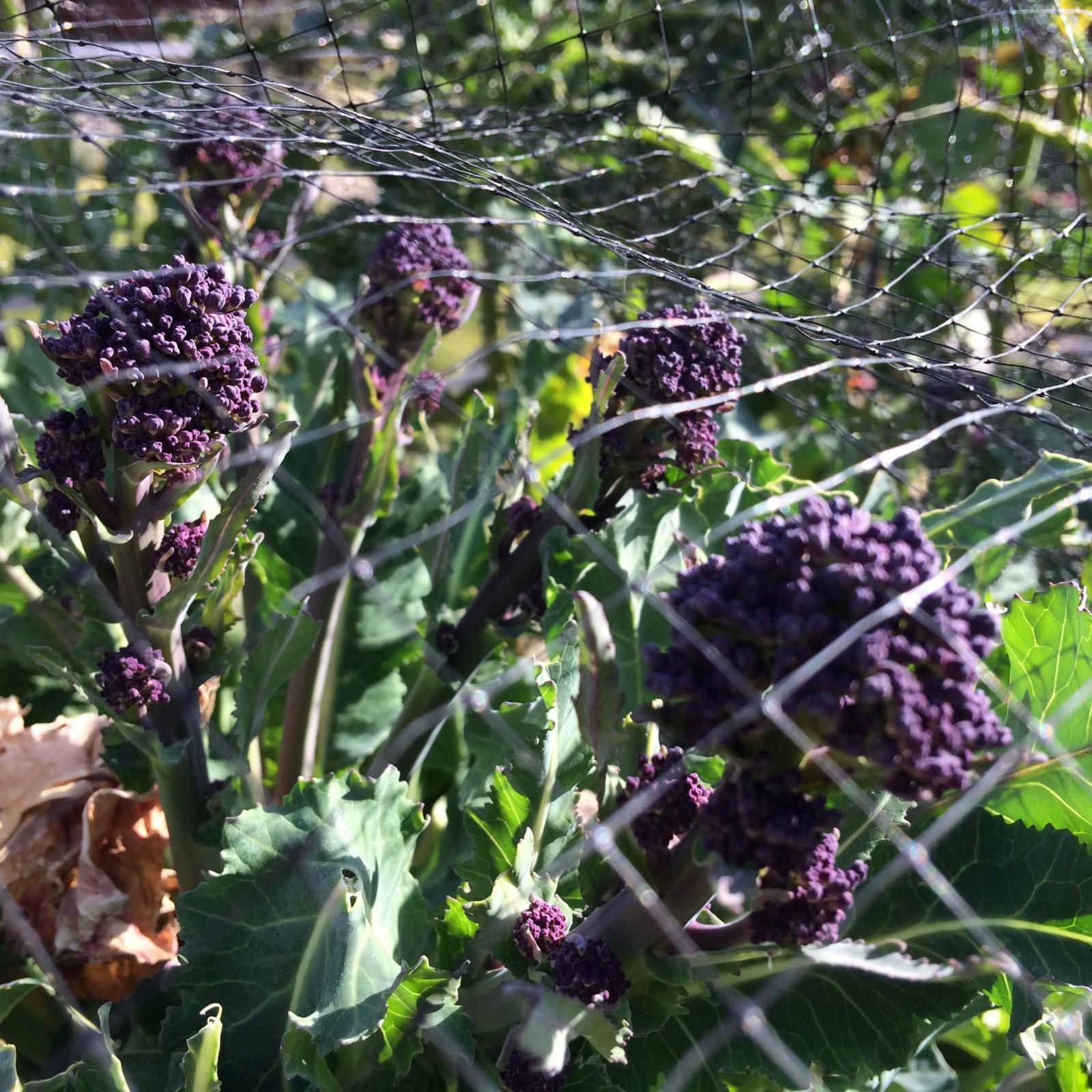 Slow Garden Chronicle: Brassicas