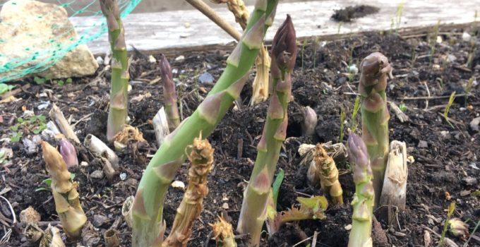 Slow Garden Chronicle: Asparagus