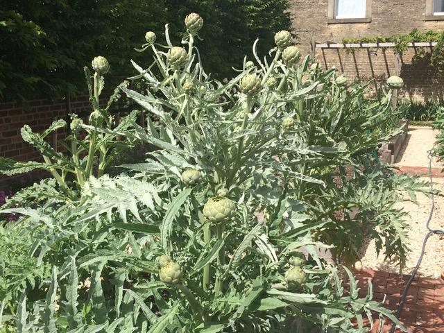 Slow Garden Chronicle:  Artichokes